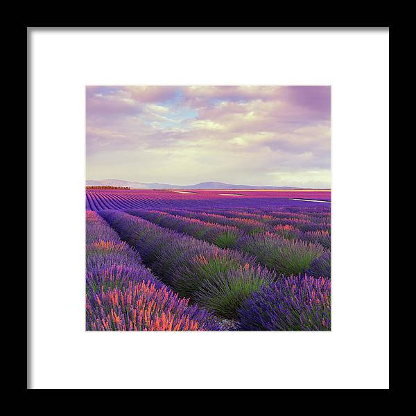 Dawn Framed Print featuring the photograph Lavender Field At Dusk by Mammuth
