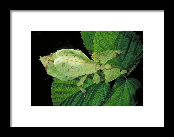 Animal Framed Print featuring the photograph Leaf Insect by Richard Hansen