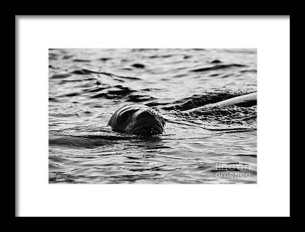 Leopard Framed Print featuring the photograph leopard seal peaking and breathing above water Antarctica by Joe Fox