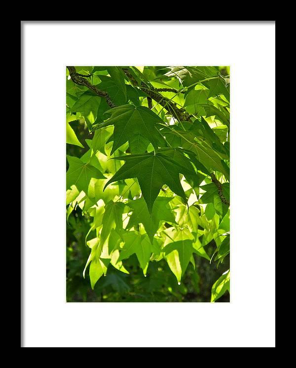 Liquidambar Framed Print featuring the photograph Liquidambar Tree in the Morning Sun by Kirsten Giving