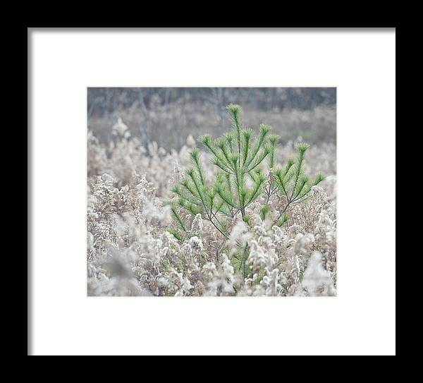 Pine Framed Print featuring the photograph Lone Pine by Brian Mollenkopf