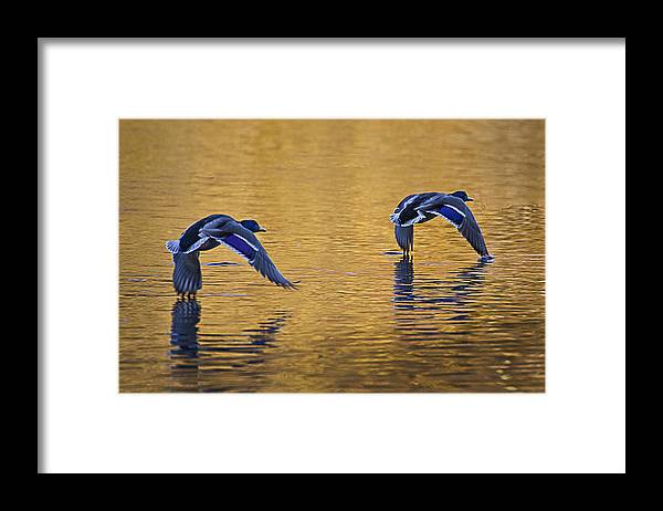 Mallard Framed Print featuring the photograph Mallard Ducks In Flight Across And Autumn Lake by Simon West