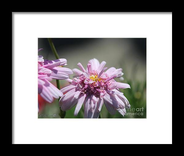 Mccombie Framed Print featuring the photograph Marguerite Daisy Named Double Pink by J McCombie