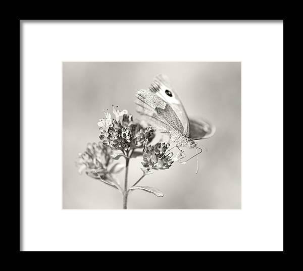 Meadow Brown Butterfly Framed Print featuring the photograph Meadow Brown by Steven Poulton