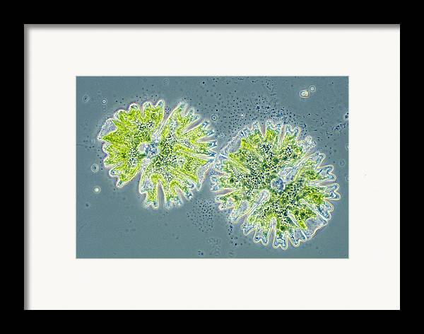 Biology Framed Print featuring the photograph Micrasterias by Michael Abbey