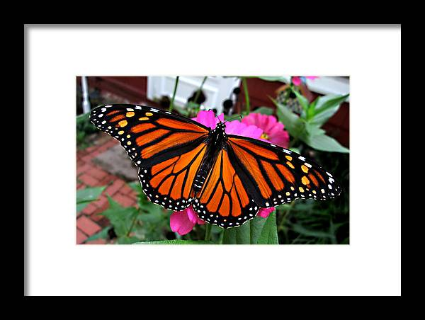 Monarch Framed Print featuring the photograph Monarch by Monte Landis