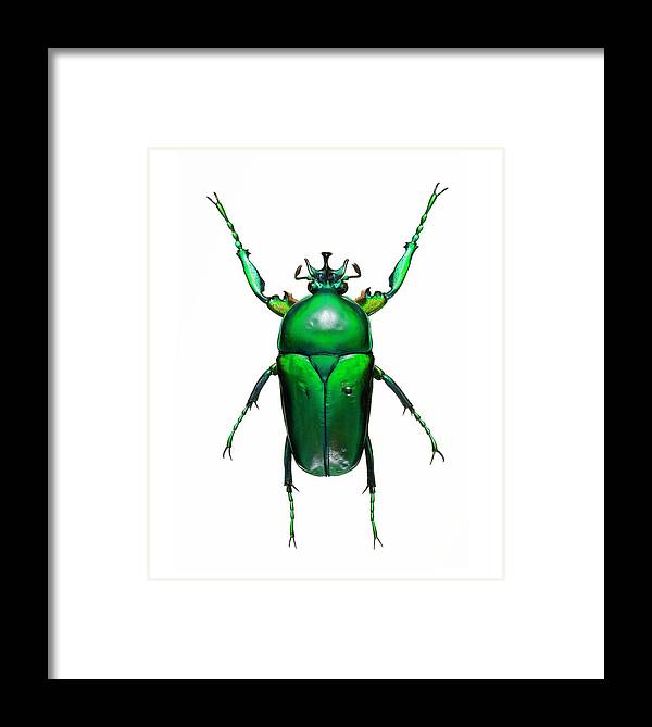 Neptunides Stanleyi Framed Print featuring the photograph Neptunides Flower Beetle by Lawrence Lawry