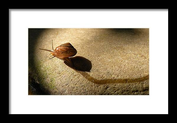 Snail Framed Print featuring the photograph Oregon Snail by Lindy Pollard