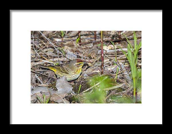 Animal Framed Print featuring the photograph Palm Warbler by Jack R Perry