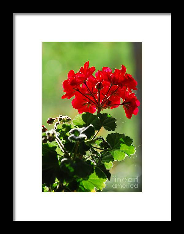 Red Framed Print featuring the photograph Pelargonium by Sarka Olehlova