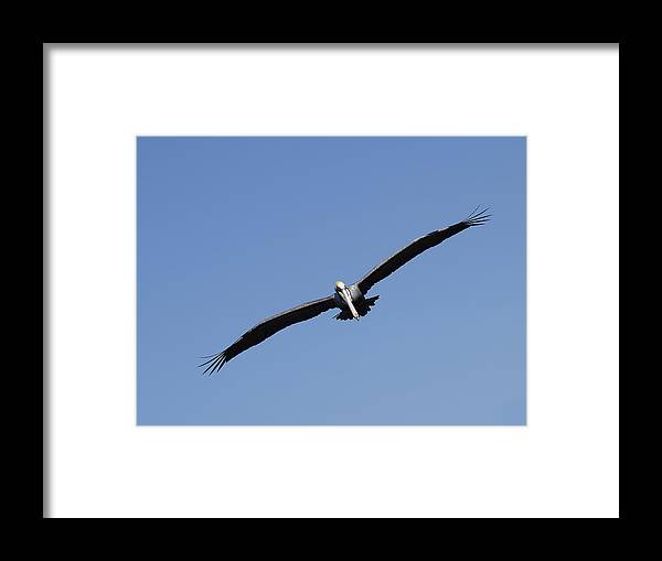 Swflsunsetscenery Framed Print featuring the photograph Pelican by Tracy Barnard