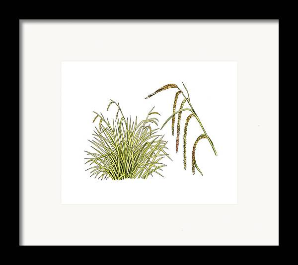 Cutout Framed Print featuring the photograph Pendulous Sedge (carex Pendula) by Science Photo Library