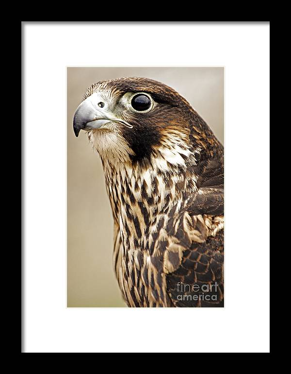 Peregrine Falcon Framed Print featuring the photograph Peregrine Falcon by Charline Xia