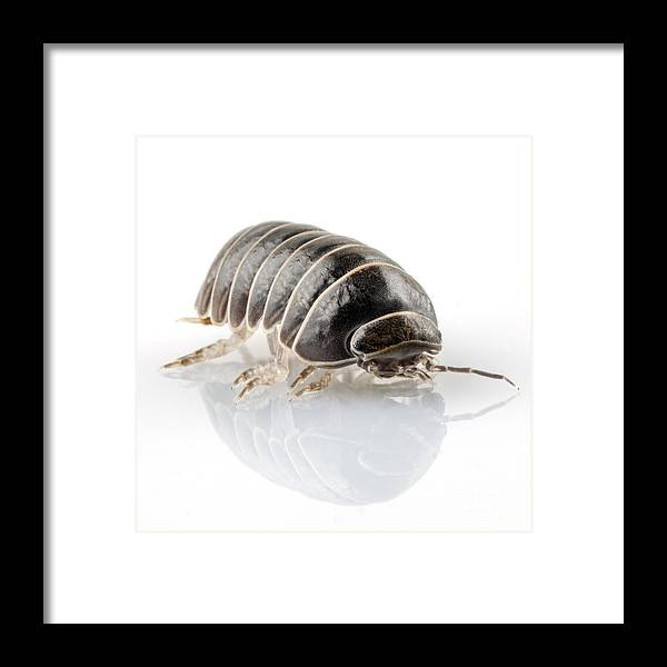 Animal Framed Print featuring the photograph Pill-bug Armadillidium Vulgare by Pablo Romero
