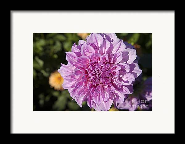 Bloom Framed Print featuring the photograph Pink Dahlia by Peter French
