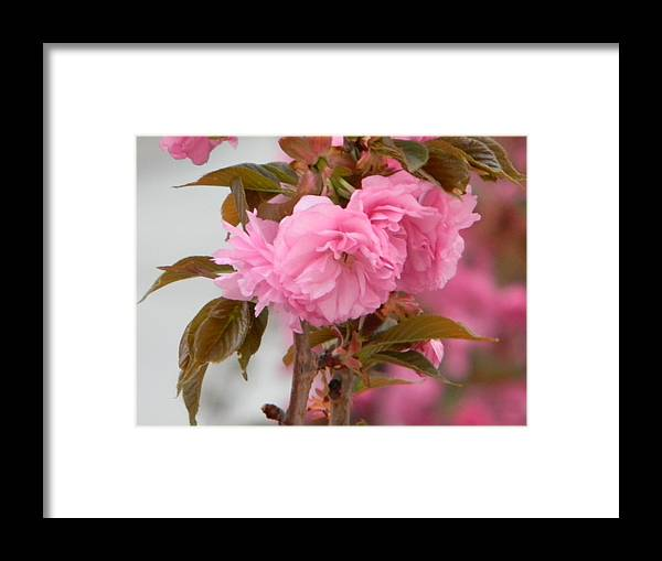 Pink Framed Print featuring the photograph Pink Flowers by Daniel Cruger