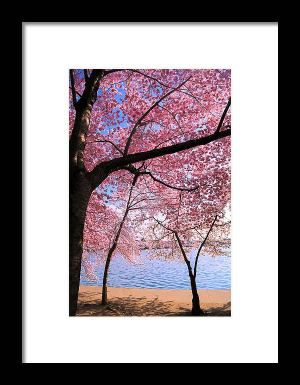 Cherry Blossoms Framed Print featuring the photograph Pink by Mitch Cat