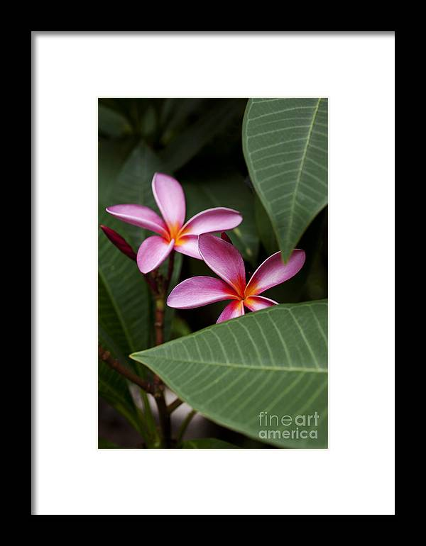 Bloom Framed Print featuring the photograph Pink Plumeria Flowers by Charmian Vistaunet