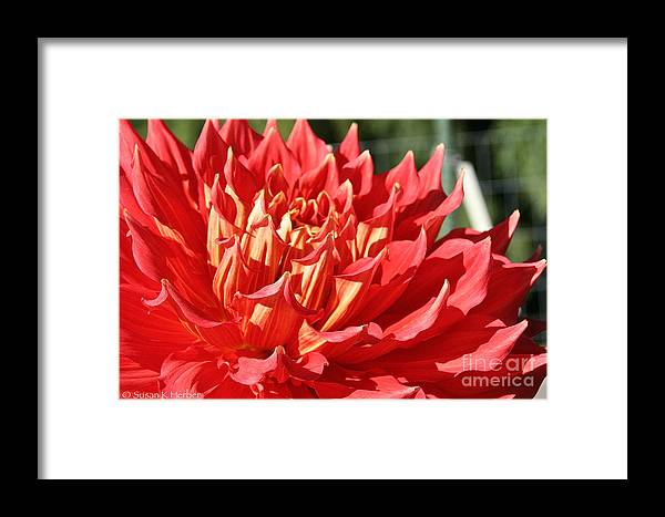 Flower Framed Print featuring the photograph Pink Points by Susan Herber