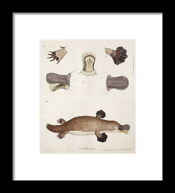 Platypus Anatomy (shaw) Framed Print by Paul D Stewart