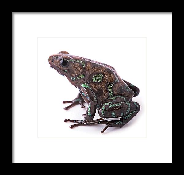 Poison Arrow Frog Framed Print featuring the photograph poison arrow frog Panama by Dirk Ercken