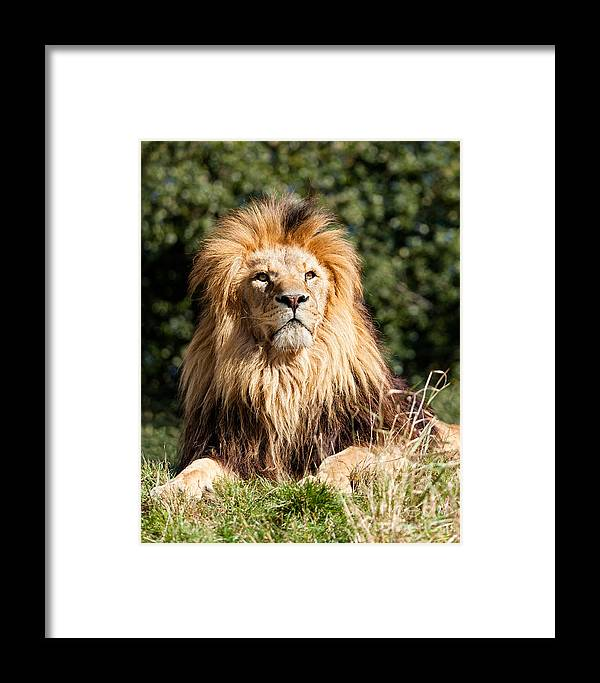 Lion Framed Print featuring the photograph Proud Majestic Lion by Sarah Cheriton-Jones