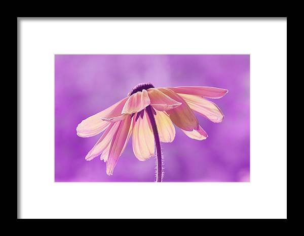 Flower Framed Print featuring the photograph Purple Soft by Kate Rice