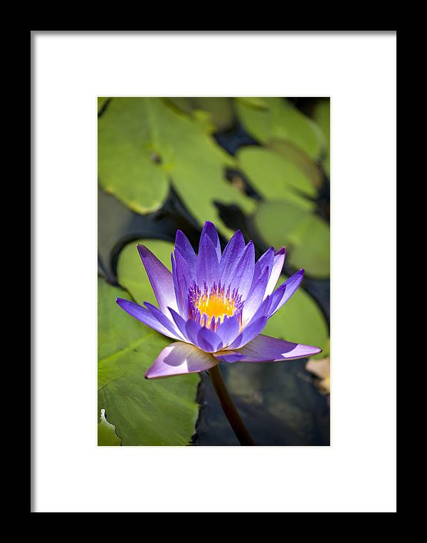 Flowers Framed Print featuring the photograph Purple Waterlily by Diego Re