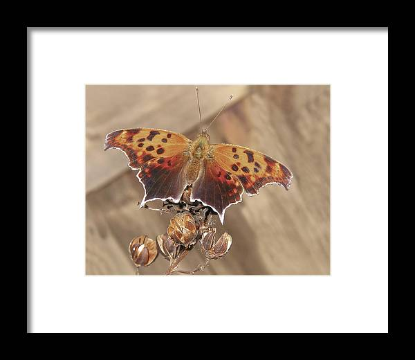 Brown Framed Print featuring the photograph Question Mark Butterfly by David and Carol Kelly