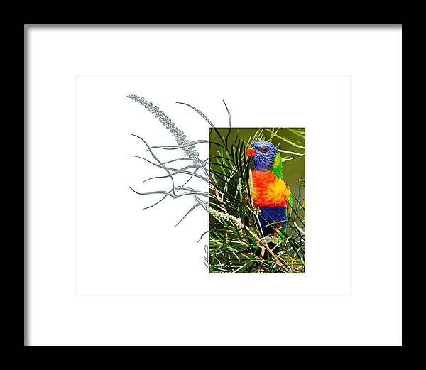 Rainbow Lorikeet Framed Print featuring the photograph Rainbow Lorikeet by Andrew McInnes