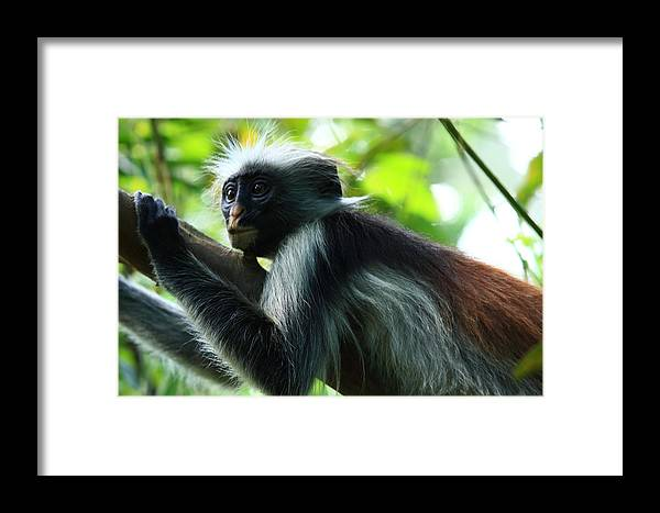 Red Colobus Monkey Framed Print featuring the photograph Red Colobus Monkey by Aidan Moran