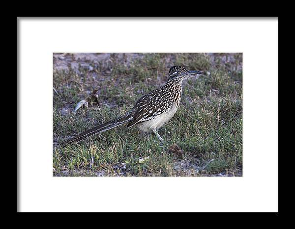 Doug Lloyd Framed Print featuring the photograph Roadrunner by Doug Lloyd