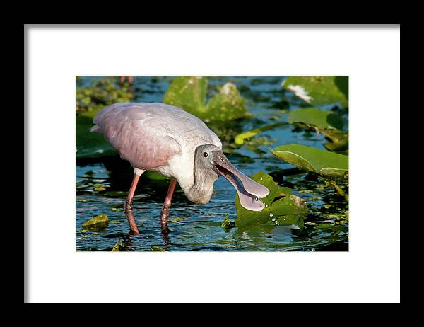 Animal Themes Framed Print featuring the photograph Roseate Spoonbill by Mark Newman