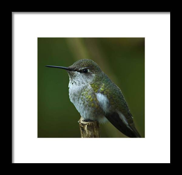Rufus Humming Bird Framed Print featuring the photograph Rufus Humming Bird by Rob Mclean