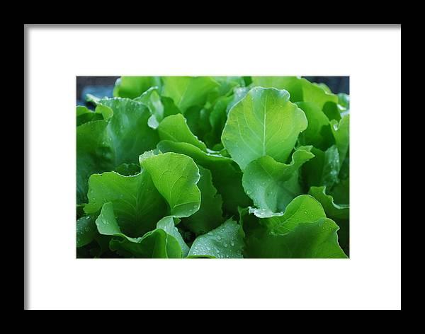 Santoro Lettuce Framed Print featuring the photograph Santoro Lettuce 2 by Steve Masley
