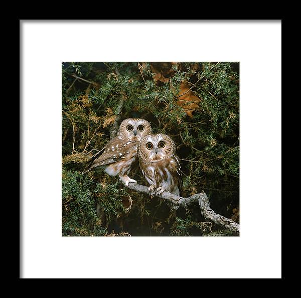 Acadicus Framed Print featuring the photograph Saw-whet Owls by G Ronald Austing