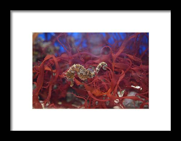 Sea Horse Framed Print featuring the photograph Sea Horse by Chandra Wesson