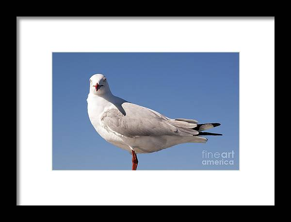 Australia Framed Print featuring the photograph Seagull by Tim Hester