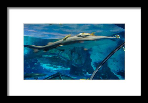 Sharks Framed Print featuring the photograph Sharks by Tinjoe Mbugus