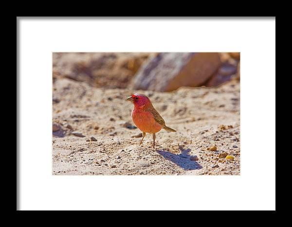 Sinai Rosefinch Framed Print featuring the photograph Sinai Rosefinch (carpodacus Synoicus) by Photostock-israel