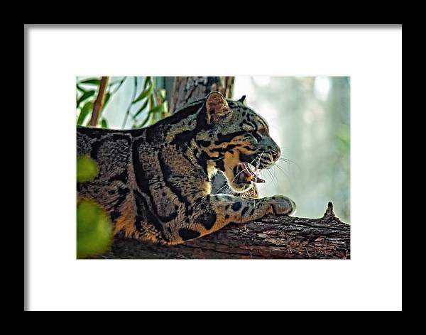 Clouded Leopard Framed Print featuring the photograph Sleepy Girl by Steve Harrington