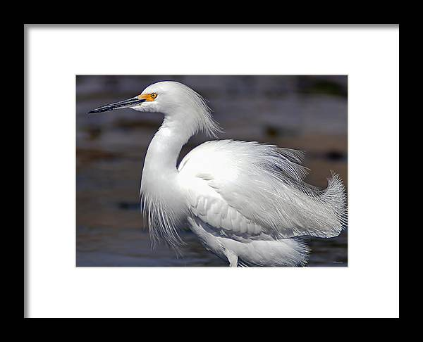 Framed Print featuring the photograph Snowy Egret by Jim Lucas
