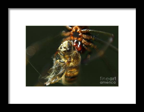 Spider Framed Print featuring the pyrography Spider by Marcelo Alves