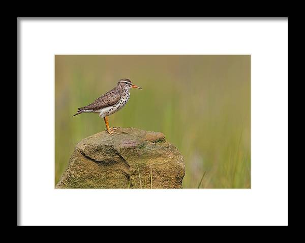 Spotted Sandpiper Framed Print featuring the photograph Spotted Sandpiper by Daniel Behm