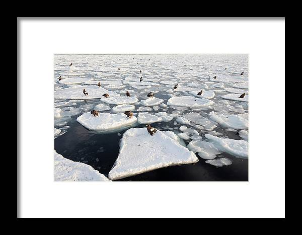 Accipitridae Framed Print featuring the photograph Steller's Sea Eagles On Sea Ice by Dr P. Marazzi