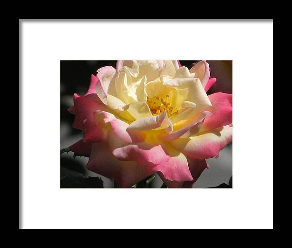 Rose Framed Print featuring the photograph Summer Rose by Alfred Ng