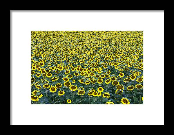 Yellow Framed Print featuring the photograph Sunflower Nirvana 13 by Allen Beatty