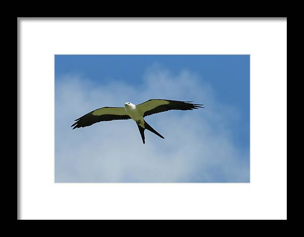 Bird Framed Print featuring the photograph Swallow-tailed Kite In Flight by Maresa Pryor