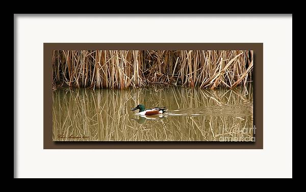 Faux Matting Framed Print featuring the photograph Swimming Among The Reeds by Chris Anderson