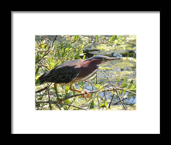 Green Heron Framed Print featuring the photograph Taking Off by Lucy Howard
